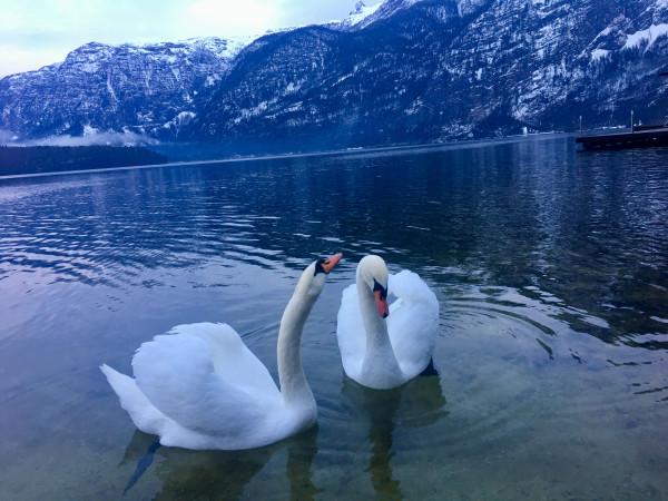 一平如鏡的湖水,兩隻潔白的天鵝在湖面上悠閒地游弋。