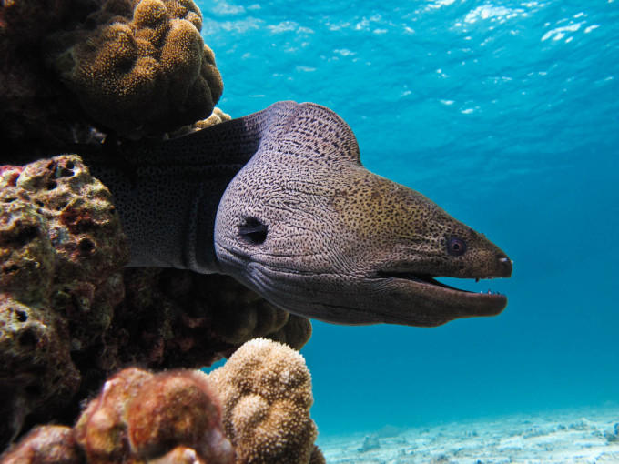 Giant-Moray-Eels-Gymnothorax-gavanicus-White-Balance-Shot-680x510