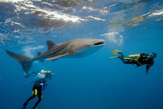 Travel-Guide-to-Maldives-s-diving-with-whale-shark